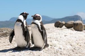 pinguini_sudafrica