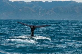 Balena_Nuova_Zelanda
