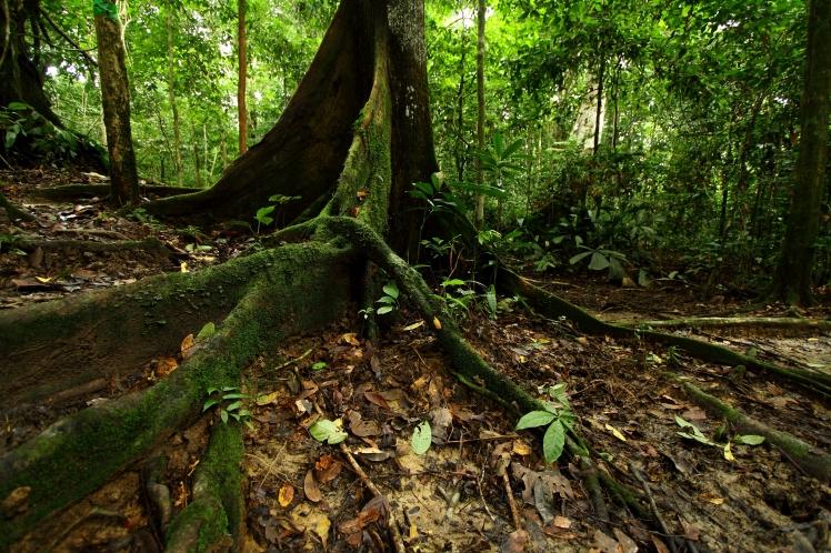 Borneo_Giungla