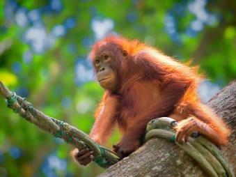 Borneo_Giungla_Orango