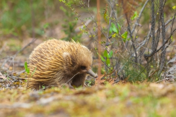Echidna_Tasmania