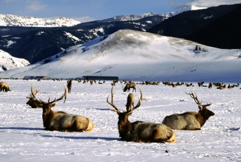 Bull Elk resting at the National Elk Refuge near Jackson, WY