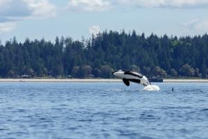 vancouver_island_orca