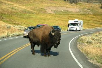 Attenzione a chi devi dare la precedenza allo Yellowstone National Park!