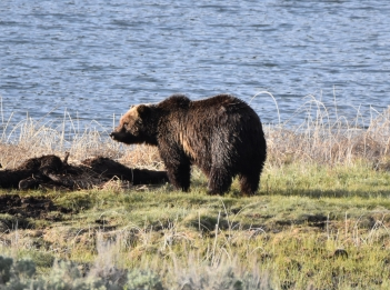montana-yellowstone-grizzly