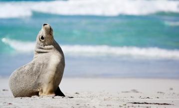 Una foca orsina a Kangaroo Island, South Australia