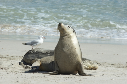 South Australia, leoni marini a Kangaroo Island